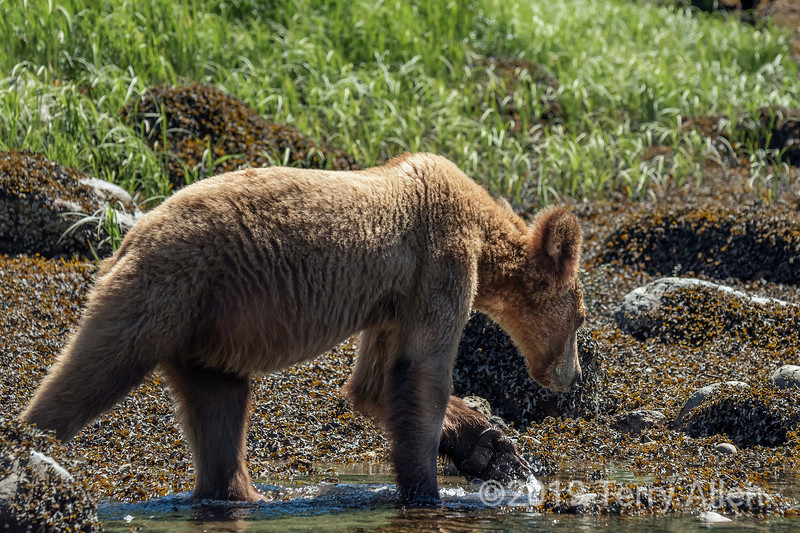 Grizzly cub walking in the water by rockweed at low tide, Khutzeymateen Inlet, BC