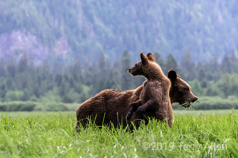 Grizzly cub keeping watch while mother eats sedge grass, Khutzeymateen, BC