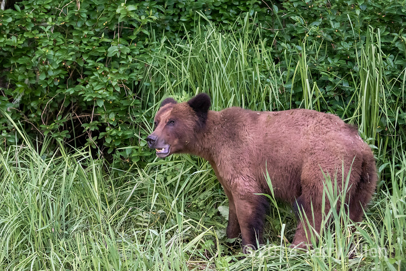 Grizzly bear in tall grass next to the forest, Khutzeymateen, BC