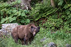 Scarred old dark-coloured grizzly by the edge of the forest, Khutzeymateen, BC