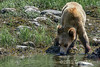 Cub drinking water
