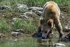 Cub drinking water