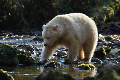 Spirit Bear fishing in Riorden Creek