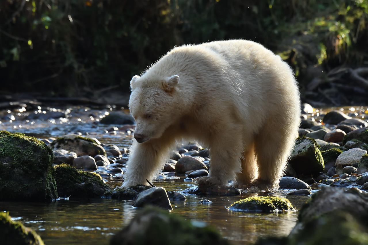 Spirit Bear fishing in Riorden Creek