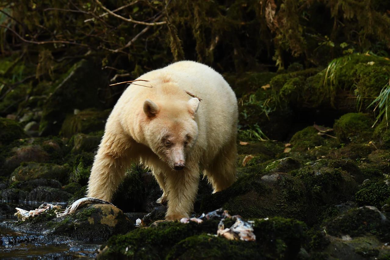 Spirit Bear fishing on Kwa Creek