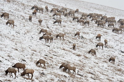Elk Herd in the Cardinal River MIne