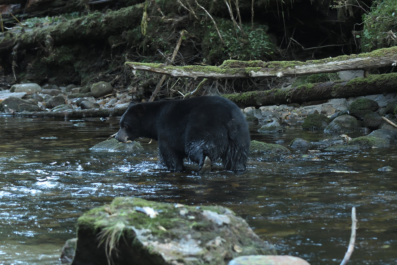 Black Bear moving off