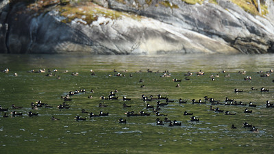 Scoters in Devastaion Channel