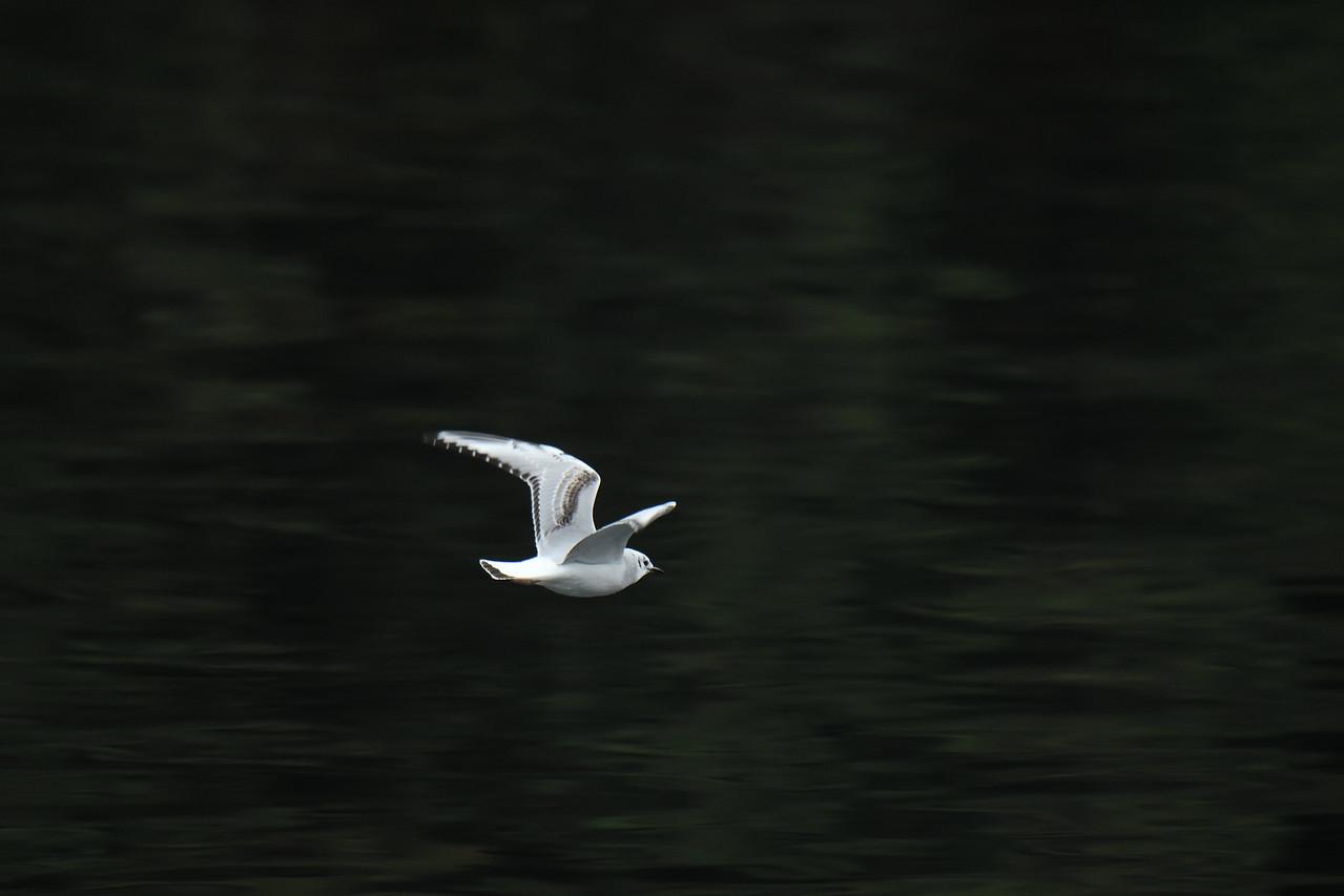 Bright gull