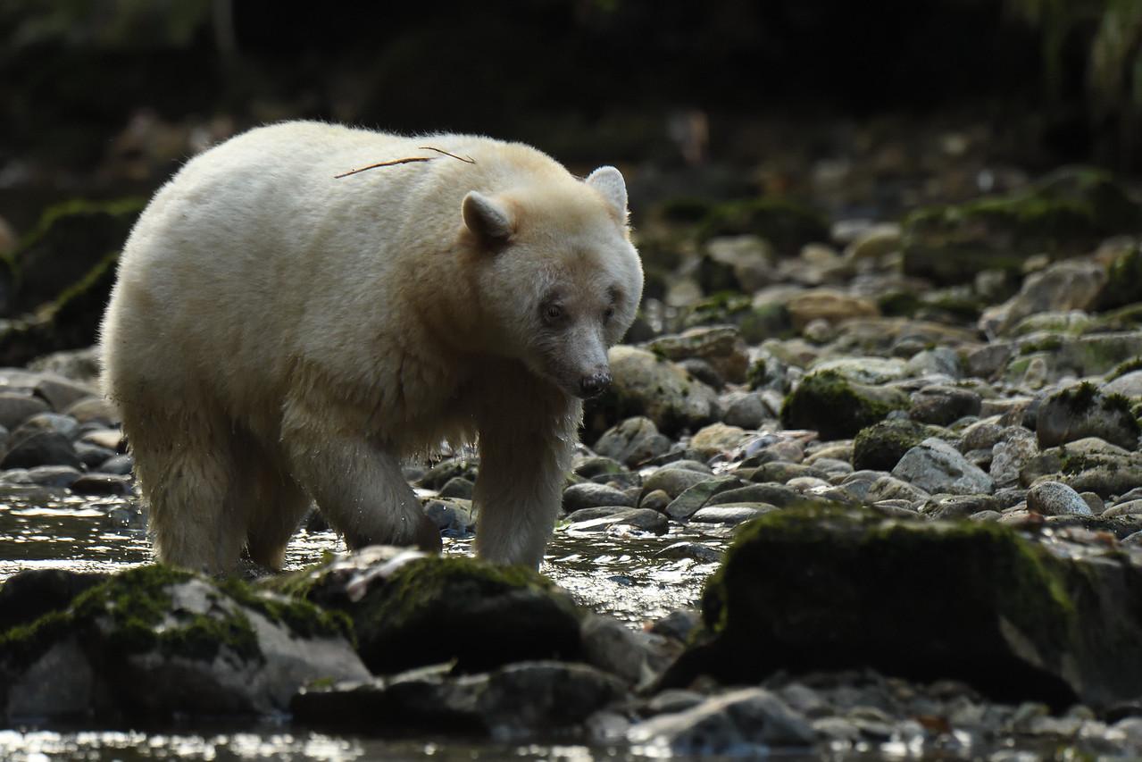 Spirit Bear on Kwa Creek