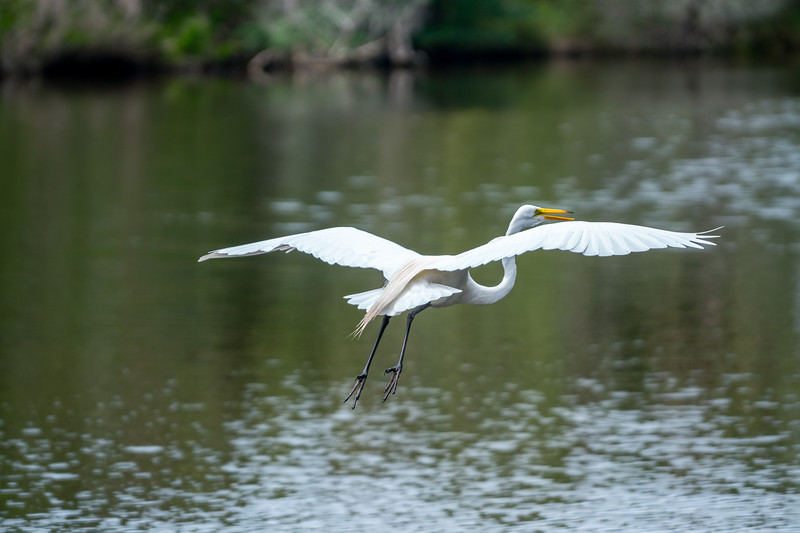 Egret in Flight over Canvasback Pond