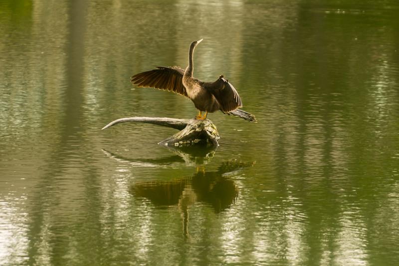 Anhinga Spreading Wings Looking Left