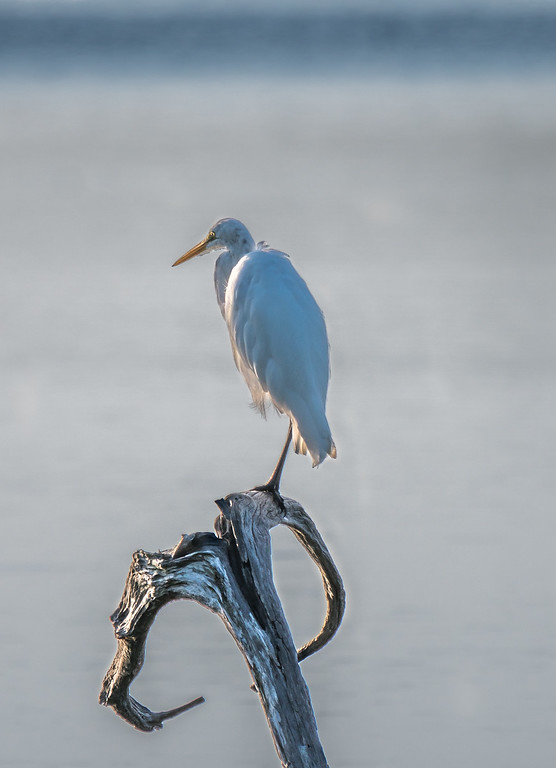 Egret on dead wood