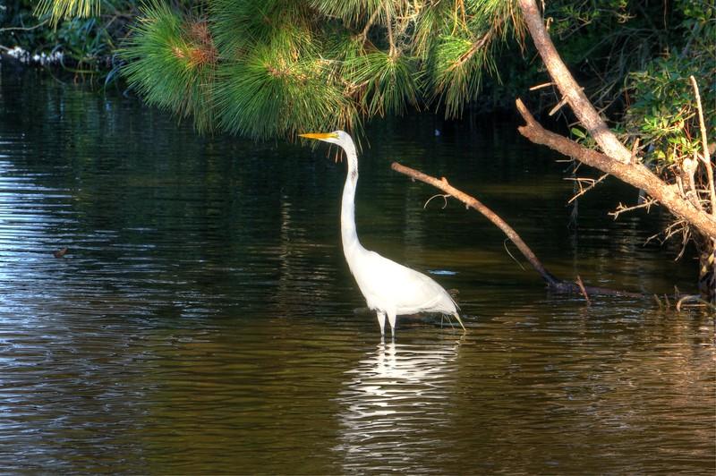 White Crane in Water
