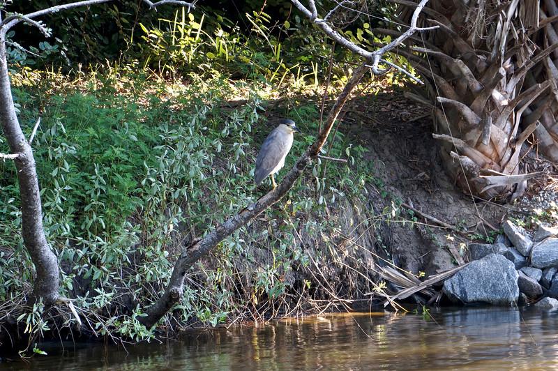 NIght Heron on Branch