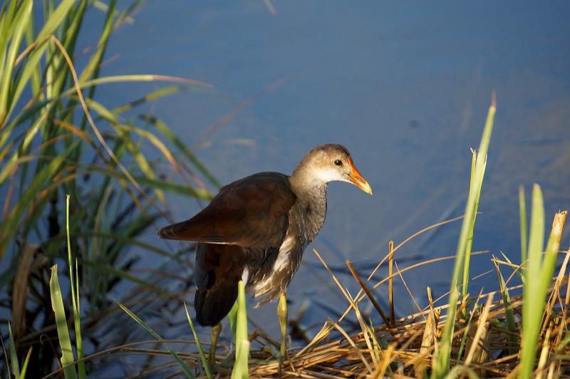 Female Common Moorhen