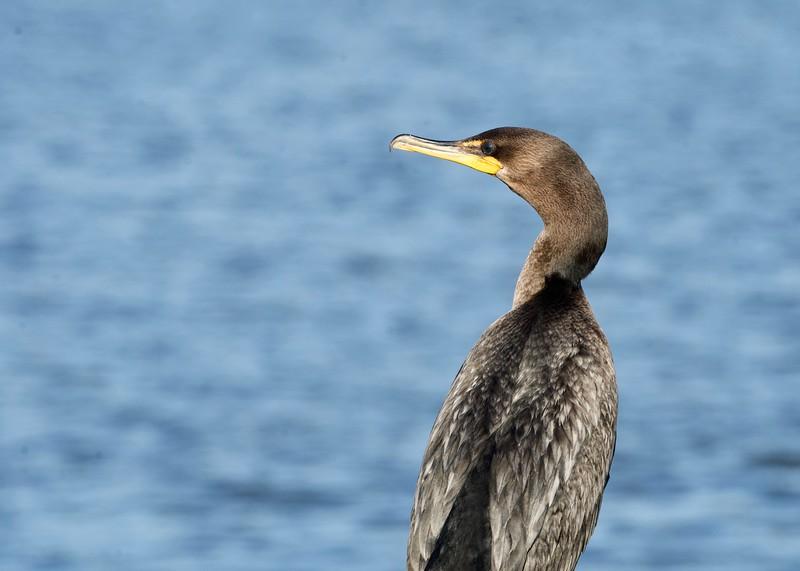 Cormorant II