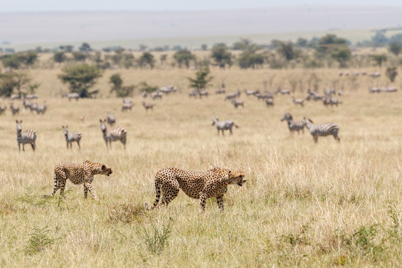 With five male cheetahs on the hunt it matters not that they have been seen by the potential prey....