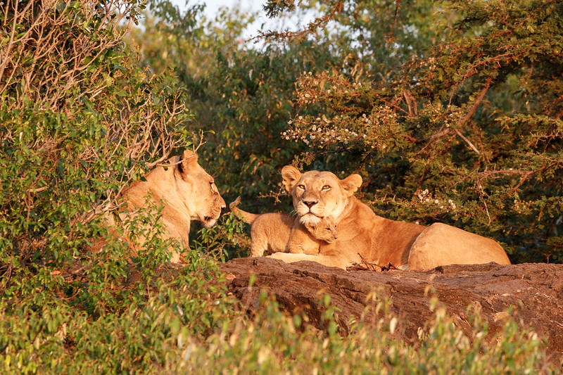 There were nine cubs in the pride, this one was the youngest and smallest that was being ignored by its own mother