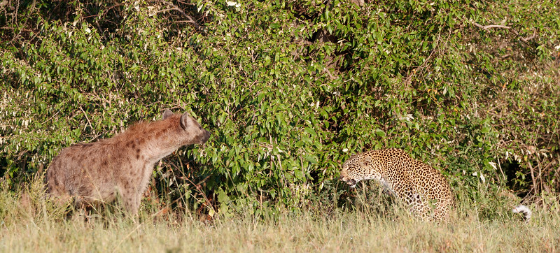Fig did not want a hyena around when her cub was hidden nearby