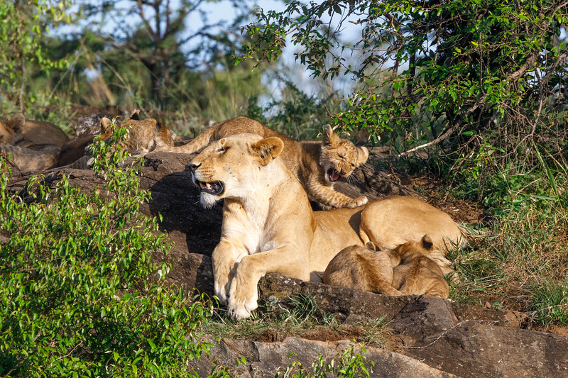 The cubs turned their attention to another female...