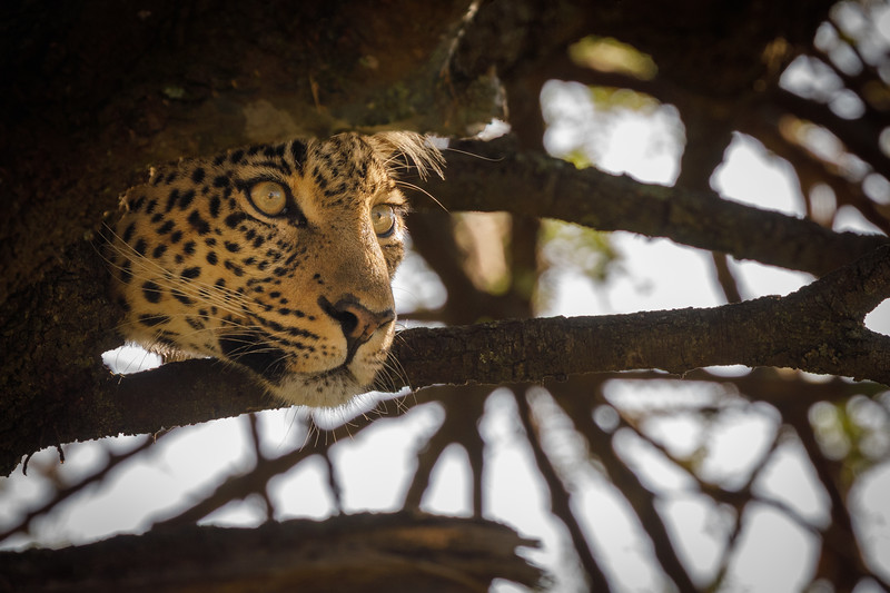 Scanning for prey from a vantage point in an acacia