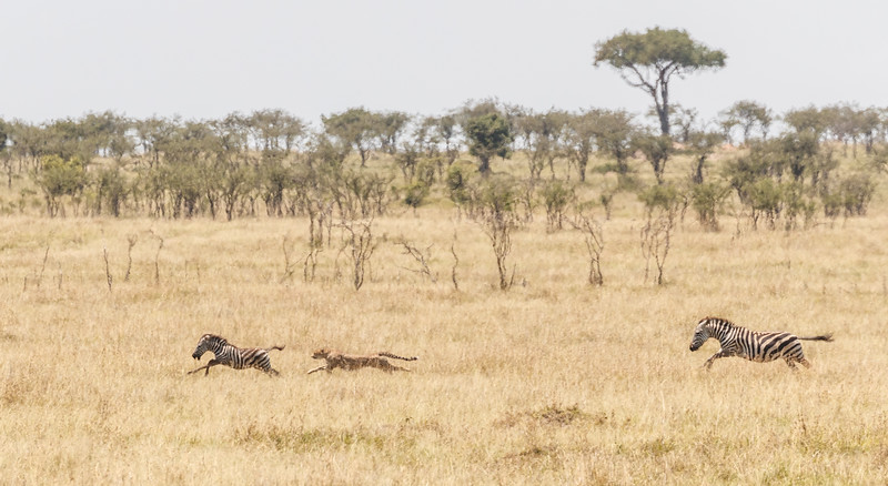 They are off, each in a different direction but with one individual zebra calf in their sights....