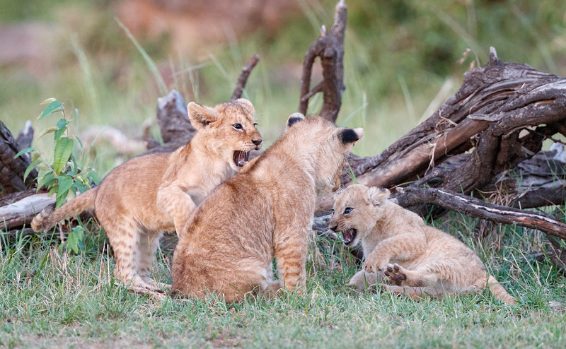 The tiny cub was holding its own in the fun and games