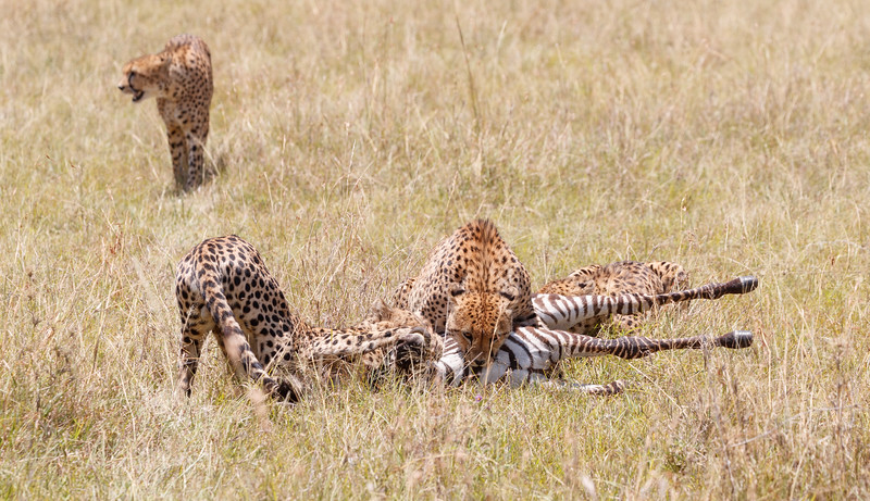 Two of the cheetahs delivered the final strangling grip...
