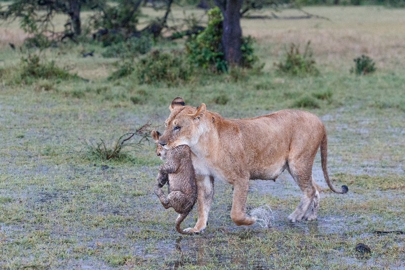 One of the pride lionesses rescuing a very wet cub after the storm