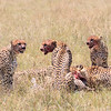 Cheetahs often lose their kill to other predators such as hyenas and lions, so feeding quickly is essential, with one or more constantly on the lookout