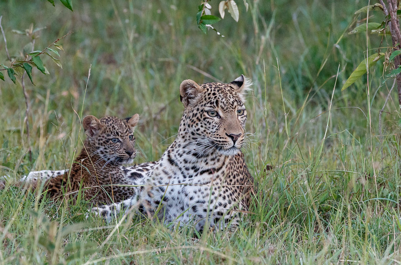 Fig and her cub.  Shortly after this they were chased up a tree by hyenas