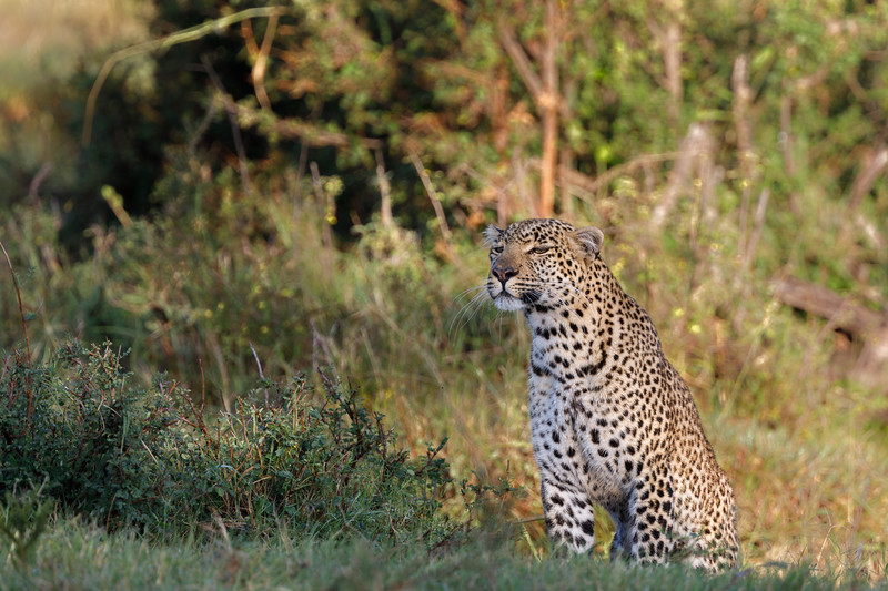 Fig, a leopard famous in the Olare Motorogi Conservancy and the adjacent National Reserve, stalking prey