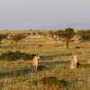 A coalition of five male cheetahs known as the Fast Five....