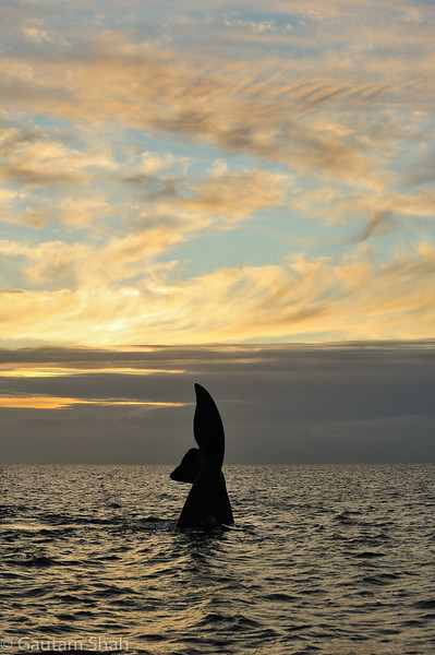 Southern right whale - Peninsula Valdes - Argentina