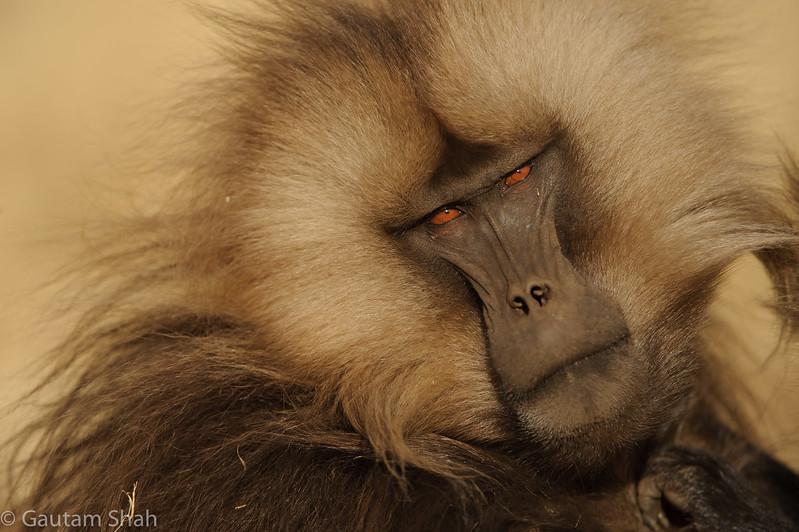 Gelada baboon - Simien Mountains - Ethiopia