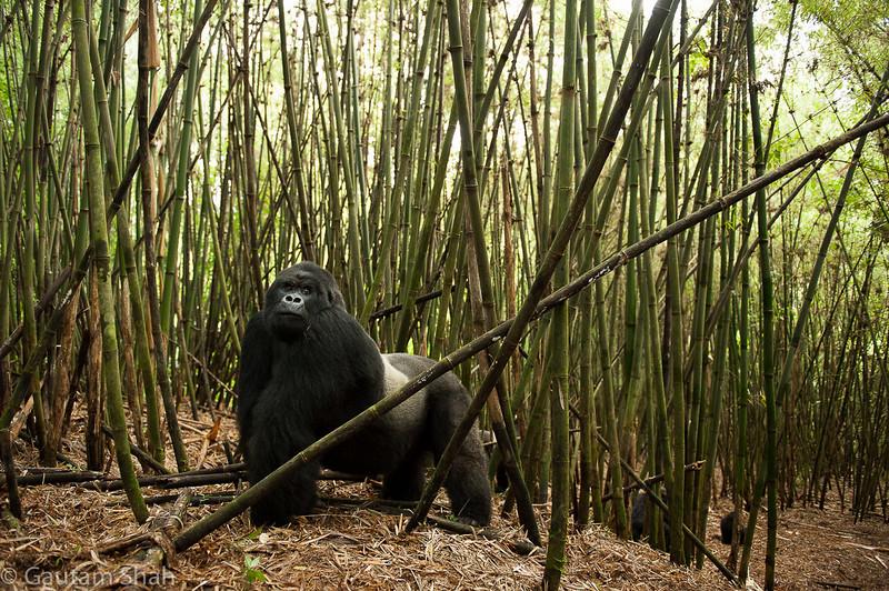 Mountain gorilla - Volcanoes National Park - Rwanda
