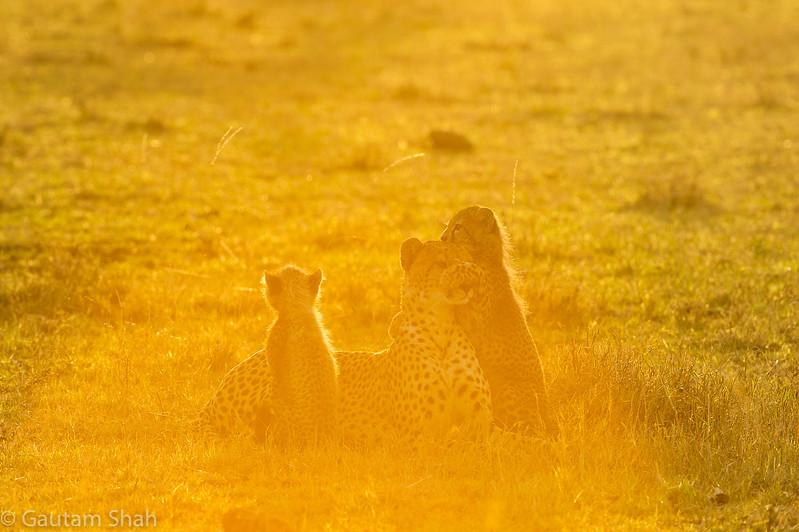 Cheetah - Maasai Mara - Kenya