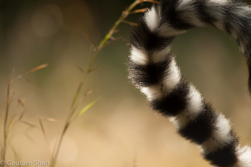 Ring tail lemur - Madagascar
