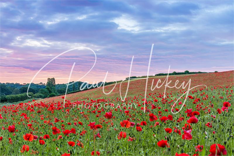 Poppy Fields at Sunrise, Kidderminster.