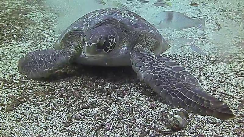 corrected turtle dance