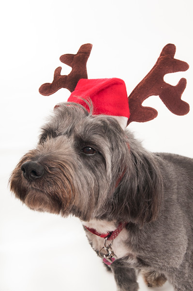 dog wearing Chrismas hat, isolated on white background