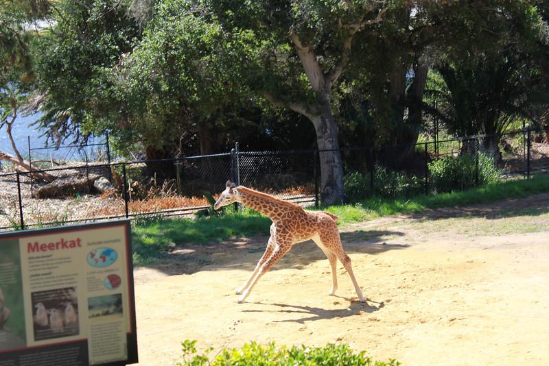 Daniel the baby Giraffe