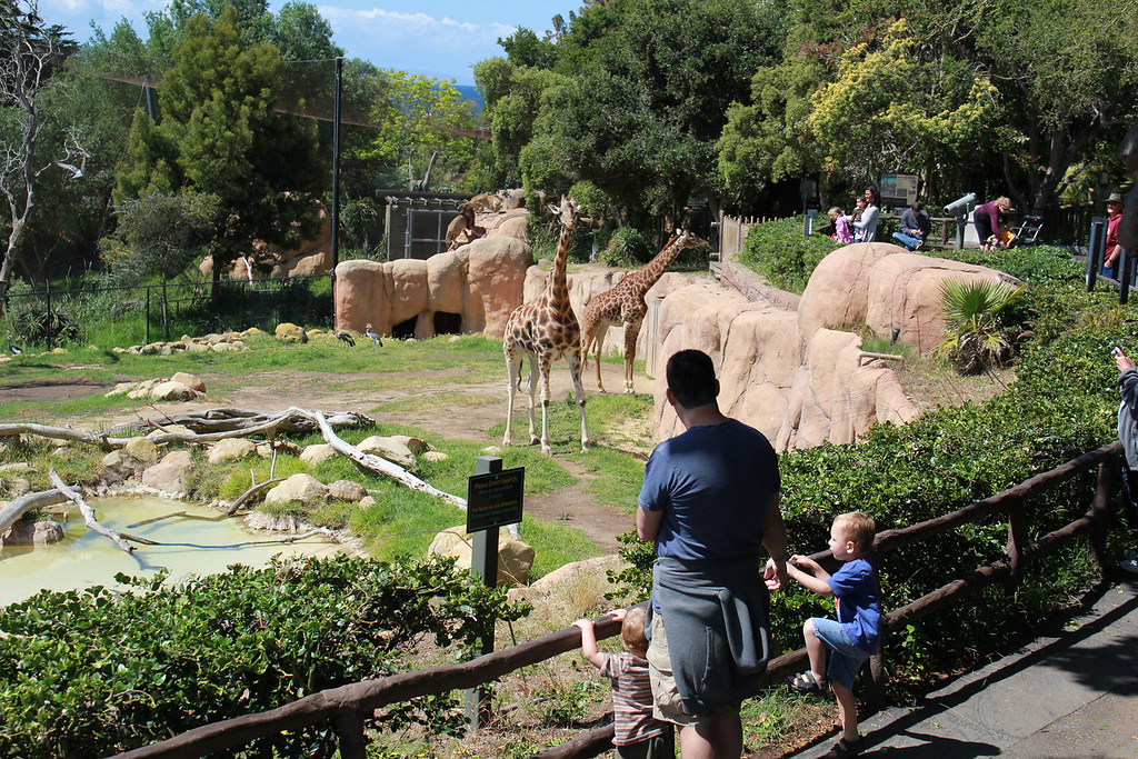 Checking out the Giraffes, you can see the lions in the background