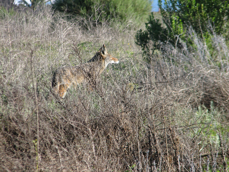 Spotted a coyote just off the trail. He wasn't much interested us, but also didn't bolt. So I took these pictures.