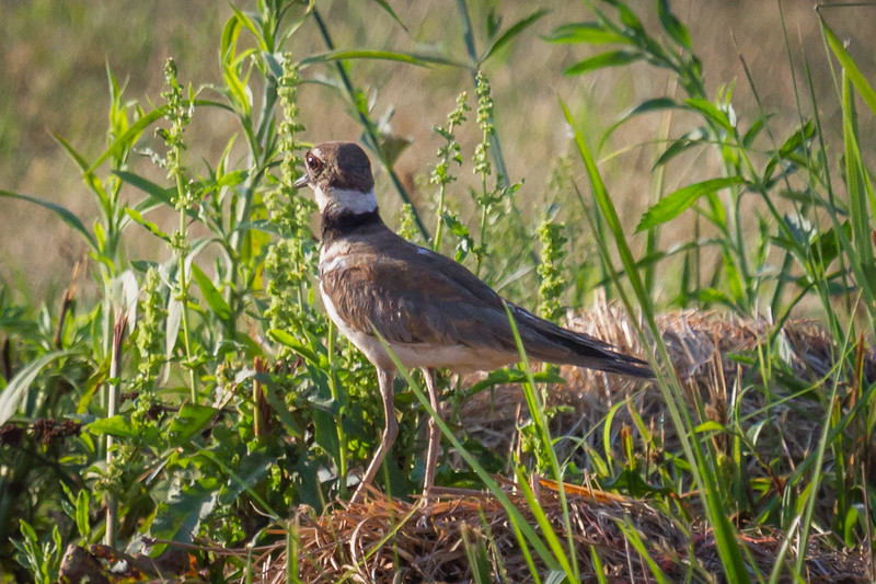 Kildeer in Alabama