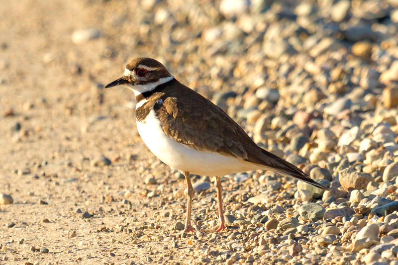Kildeer at Bailey Wetlands