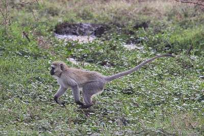 Vervet Monkey...on the run