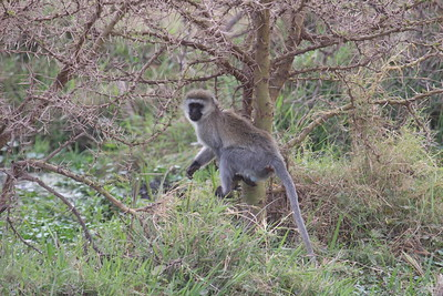 Black-Faced Vervet Monkey -- How do they get through all those thorns?