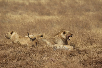 Lions - just lyin' around....